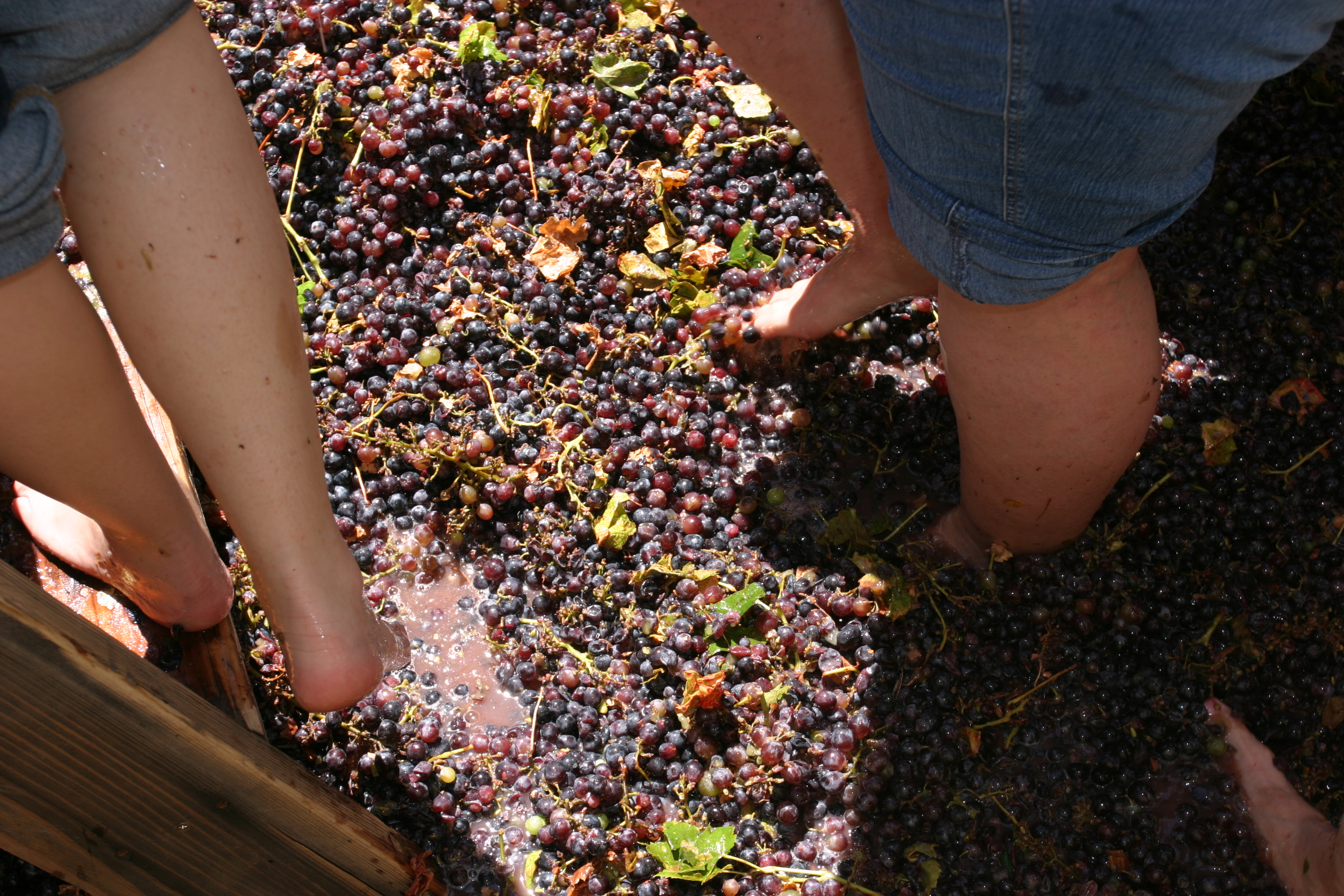 Stomping grapes with their feet
