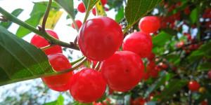 cherries-800x400