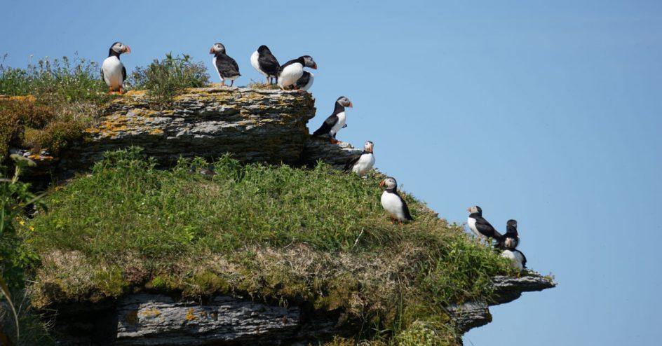 Des macareux moines sont perchés sur une falaise de l'île aux perroquets